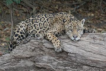Jaguar Siesta