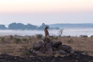 Precious early morning cheetah sighting