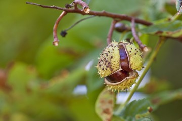 Horse Chestnuts or Conkers (Aesculus hippocastanum) with chestnut leaves, seeds and capsules on a tree