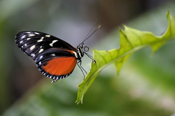 Tiger Heliconian or Ismenius Tiger (Heliconius ismenius) on a leaf
