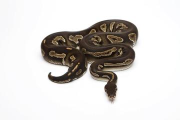 Super Black Head Ball Python or Royal Python (Python regius)