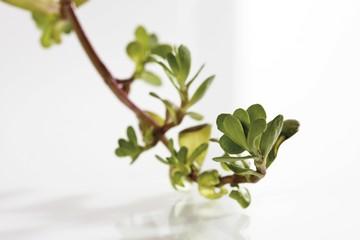 Coastal Waterhyssop, Brahmi, Thyme-leafed gratiola, Water hyssop (Bacopa monnieri)