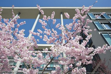 Flowering Japanese cherry tree in front of a modern office building, Munich, Bavaria, Germany, Europe