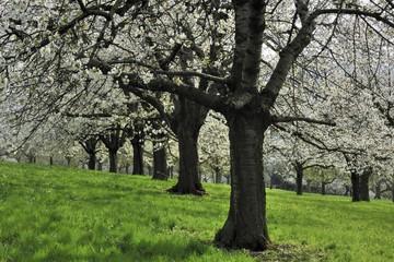 Flowering cherry trees in spring