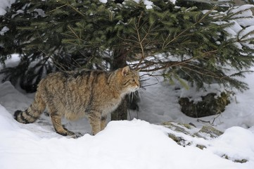 Wildcat (Felis silvestris) in winter, in front of den