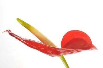 Flamingo Flower (Anthurium andraeanum)