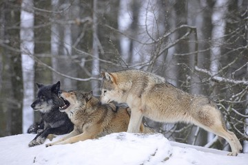Mackenzie Valley Wolf, Alaskan Tundra Wolf or Canadian Timber Wolf (Canis lupus lycaon), wolves in the snow, with leader of the pack
