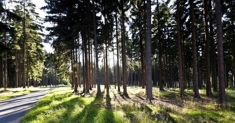 Forest with pine trees in backlight