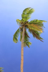 Coconut palm (Cocos nucifera), Mahe island, Seychelles, Africa, Indian Ocean, Africa