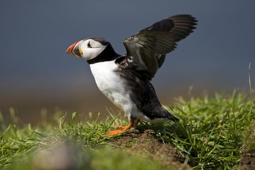 Atlantic Puffin (Fratercula arctica) with flapping wings, Treshnish Island, Scotland, United Kingdom, Europe