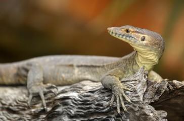 Merten's Water Monitor Lizard (Varanus mertensi), Queensland, Australia, Oceania