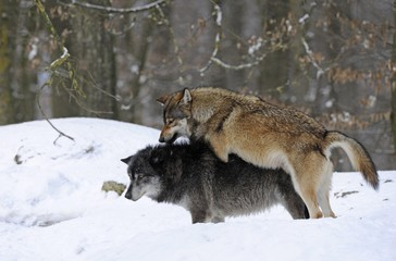 Mackenzie Valley Wolf, Alaskan Tundra Wolf or Canadian Timber Wolf (Canis lupus lycaon), two wolves mating in the snow