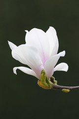 Tulip magnolia (Magnolia x soulangeana), Amabilis, cultivated variety