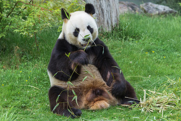 Giant panda, bear panda eating bamboo