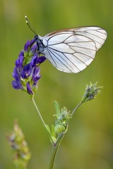 Black-veined white (Aporia crataegi) on a flower