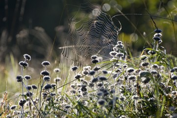 Spider web on an autumn morning