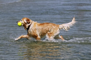 Golden Retriever (Canis lupus familiaris), retrieving a toy from the water