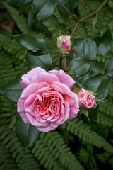 Rose blossom (Rosa), Stuttgart, Baden-Wuerttemberg, Germany, Europe