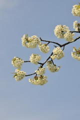 Flowering branch of a cherry tree in spring