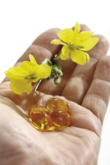 Medicinal plant Evening Primrose or Evening star (Oenothera biennis), hand holding flowers and capsules