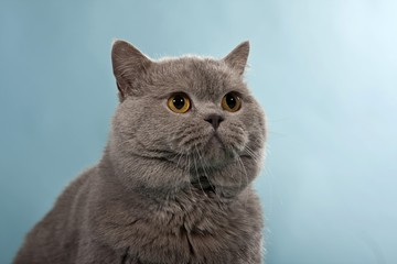 Blue British Shorthair, Chartreux, male cat, portrait