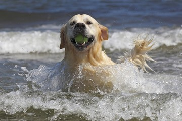 Golden Retriever dog (Canis lupus familiaris), male, two years, retrieving ball from the water, domestic dog