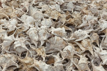 Sale of illegally caught conches on Rawai Beach, Phuket, Thailand, Asia