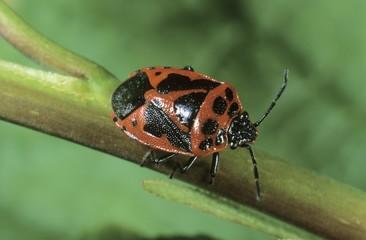 Shield Bug (Eurydema dominulus)