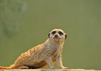 Meerkat (Suricata suricatta), juvenile