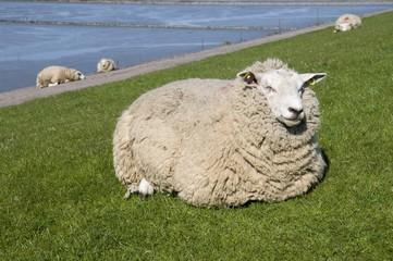 Sheep on a dyke on Nordstrand Island, Schleswig-Holstein, Germany, Europe