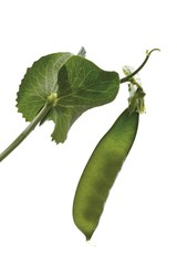 Pea pod with tendril