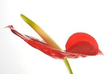 Flamingo Lily (Anthurium andraeanum)