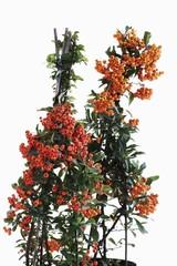 Orange and yellow Firethorn (Pyracantha)