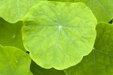 Garden Nasturtium, Indian Cress or Monks Cress (Tropaeolum majus), medicinal plant