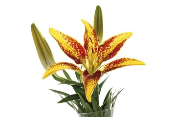 Yellow-red lily with buds