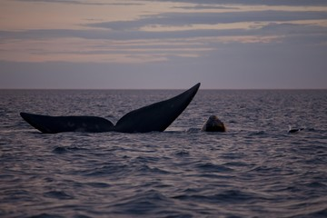 Southern Right Whale (Eubalaena australis), female with calf at sunset, Parque Nacional Peninsula Valdes, Argentina, South America