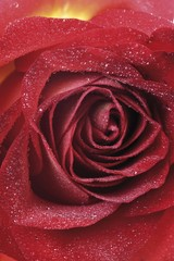 Red rose with dew drop, close-up