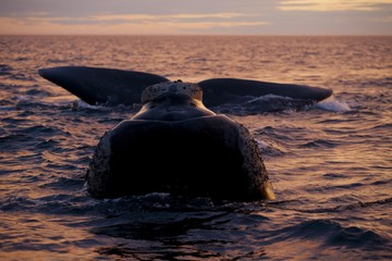 Southern Right Whale (Eubalaena australis) at sunset, Parque Nacional Peninsula Valdes, Argentina, South America