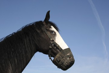 Horse mare with muzzle