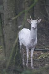 White fallow deer (Dama dama), Lathen, Emsland, Germany, Europe