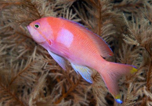 Squarespot anthias or Pink square anthias (Pseudanthias pleurotaenia), Indonesia, Asia