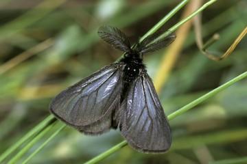 Lymantriidae (Hypogymna morio), male