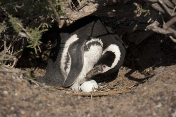 Magellanic Penguin (Spheniscus magellanicus) standing next to egg in nest, Punta Tombo, Argentina, South America