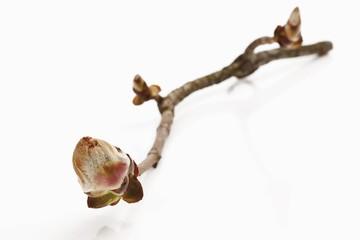 Horse chestnut (Aesculus hippocastanum) bud