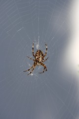 European garden spider, diadem spider, cross spider or cross orbweaver (Araneus diadematus) sitting in spider's web, Mettmann, North Rhine-Westphalia, Germany, Europe