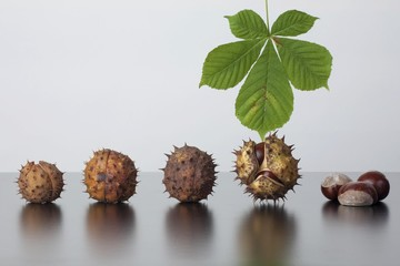 Horse Chestnut (Aesculus hippocastanum), leaf and fruit with and without capsule
