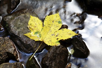 Maple leave (Aceraceae) lying on rock in a creek in Wutachschlucht ravine in the Black Forest, Baden-Wuerttemberg, Germany, Europe