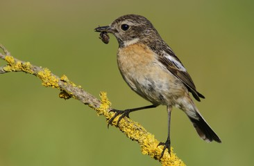 African Stonechat (Saxicola rubicola), female