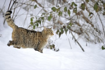 Wildcat (Felis silvestris) in winter, on the prowl
