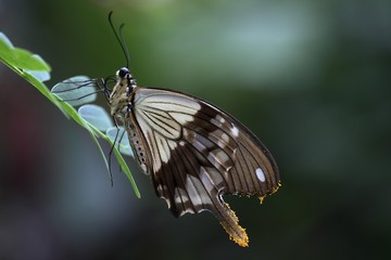African Swallowtail, Mocker Swallowtail or Flying Handkerchief (Papilio dardanus)